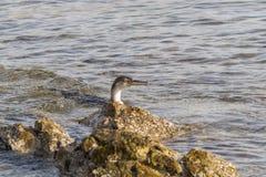 Cormorant Image stock
