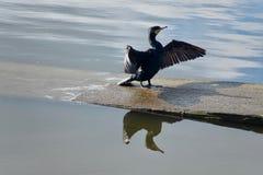 Cormorant Foto de Stock Royalty Free