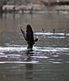 cormorant Arkivfoto