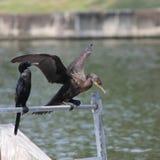 Cormorant Photographie stock