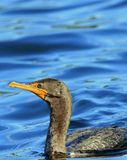 Cormorant against blue water background. Turquoise-eyed water bird swimming close up Royalty Free Stock Image