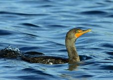Cormorant against blue water background. Turquoise-eyed water bird swimming close up Stock Images