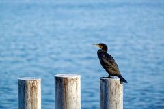 The cormorant Royalty Free Stock Photography