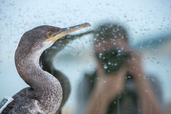 Cormorant photo-model. Cormorant European shag and blured reflected image of a photographer taking his picture Stock Photo