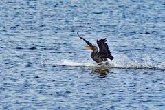 Cormorant atterrissant sur l'eau Photo libre de droits