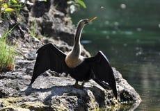 Cormorant au Mexique Photo libre de droits