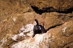 Cormorant and baby Stock Photography