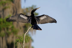 Cormorant in the Bayou Stock Photography