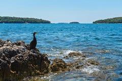 Cormorant on the beach in Istria. Bird on the rocky beach in Istria, Croatian coast stock photography