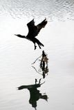 Cormorant begin his fly Stock Photography