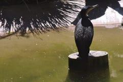 Cormorant Bianco-breasted Fotografia Stock Libera da Diritti