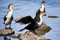 Cormorant Bianco-breasted di accoppiamenti di Breedng Fotografia Stock