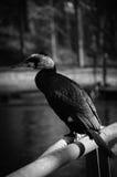 Cormorant in bianco e nero Fotografie Stock