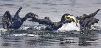 Cormorant with big fish catch stock photography