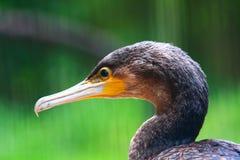Cormorant Bird. A bird near a seawater lake Stock Photography