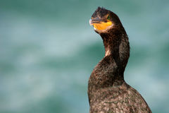 Cormorant bird. Portrait of cormorant bird with sea in background Stock Photos