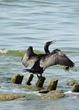 Cormorant bird Royalty Free Stock Photo