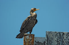 Cormorant bird in Florida Royalty Free Stock Photo