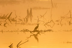 Cormorant bird in fog Royalty Free Stock Image