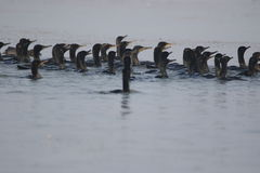 Cormorant bird Stock Photography