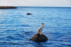 Cormorant bird in Mediterranean Denia rock Royalty Free Stock Photos