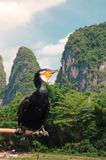 Cormorant Bird Perched On A Pole In Guilin`s Lijiang River Stock Photo