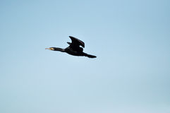Cormorant bird (Phalacrocorax) flying Royalty Free Stock Image
