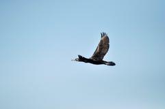 Cormorant bird (Phalacrocorax) flying Stock Images