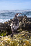Cormorant bird on reef Stock Image