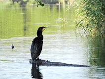 Cormorant bird resting on tree branch Stock Image