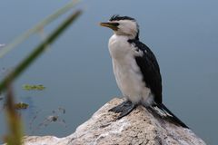 Cormorant bird sitting on the rocks royalty free stock photo