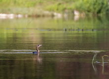 Cormorant bird swimming peacefully Stock Image