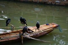 Cormorant birds cormorants family black shiny feathers on boat in river. Nice stock image
