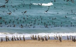 Free Cormorant Birds On A Beach In Musandam Royalty Free Stock Photography - 119643377