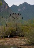 Cormorant, black birds on the tree, Thailand. Royalty Free Stock Images