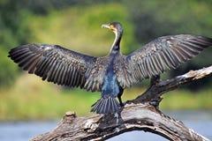 Cormorant blanc-breasted (lucidus de Phalacrocorax) en parc national de Kruger Photographie stock libre de droits