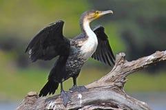 Cormorant blanc-breasted (lucidus de Phalacrocorax) en parc national de Kruger Photographie stock