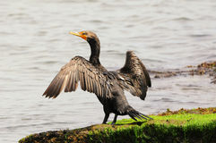 Cormorant Royalty Free Stock Photos