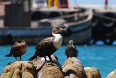 Cormorant and boat. Whitebreasted Cormorant near fishing boats in Kalk Bay, cape Town Stock Photos