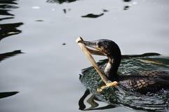Cormorant breasted bianco Fotografia Stock