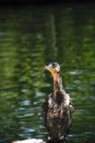 Cormorant breasted bianco Immagini Stock