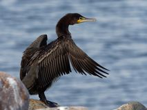 Cormorant - carbo de Phalacrocorax Image libre de droits