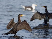 Cormorant - carbo de Phalacrocorax Photos stock
