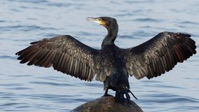 Cormorant - carbo de Phalacrocorax Image stock
