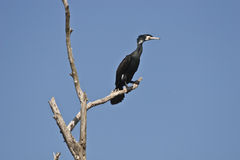 Cormorant (carbo de phalacrocorax) Images libres de droits