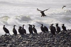 Cormorant (carbo de phalacrocorax) Photos libres de droits