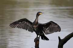 Cormorant, carbo de Phalacrocorax Photo libre de droits