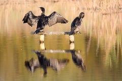 Cormorant (carbo de Phalacrocorax) se tenant s'envole pour sécher photographie stock libre de droits
