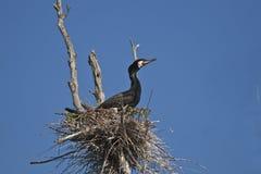 Cormorant (carbo de phalacrocorax) sur l'emboîtement Images libres de droits