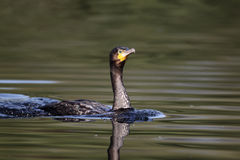 Cormorant, carbo del Phalacrocorax Fotografie Stock
